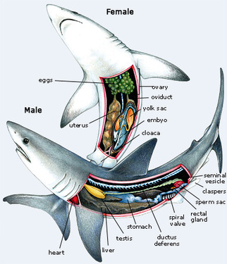 Digestive system koreys zoology tiger shark ccuart Image collections